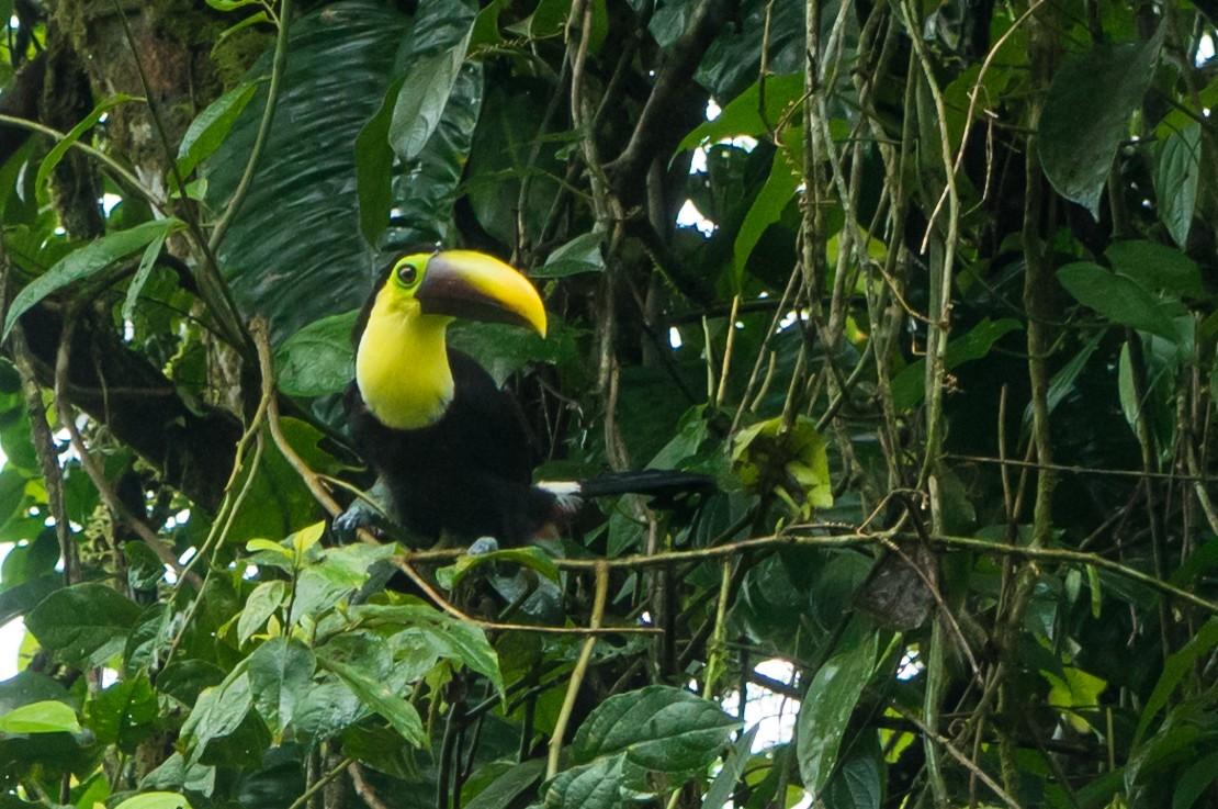 Costa Rica Enrico Pescantini PescArt toucan
