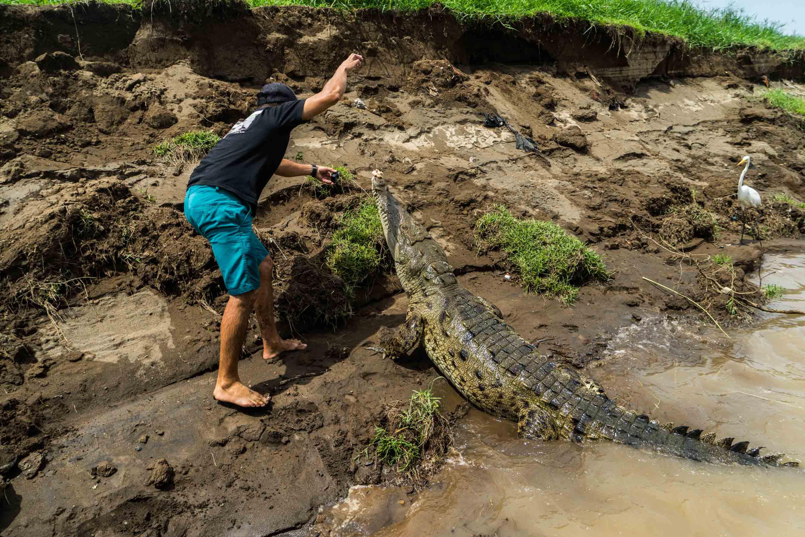 crocodile feeding rio tarcoles costa rica 3