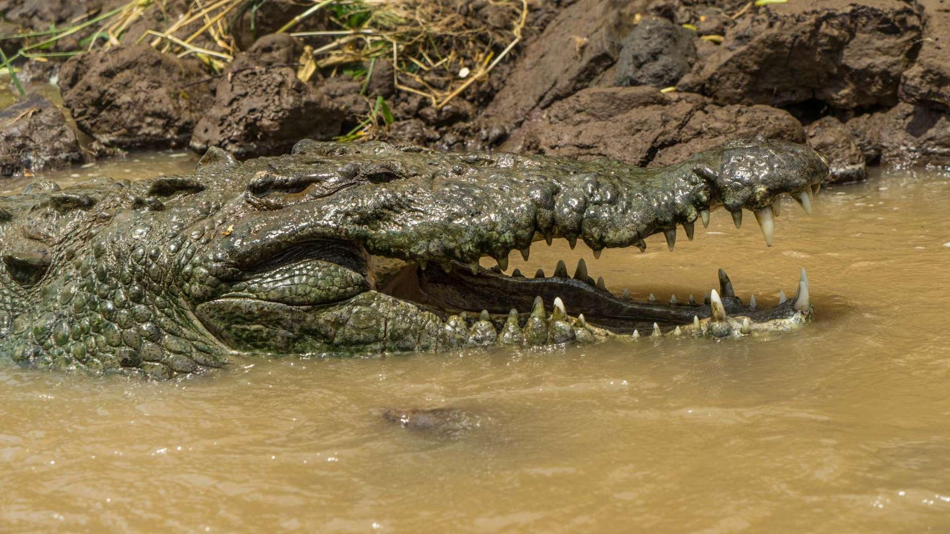crocodile feeding rio tarcoles costa rica