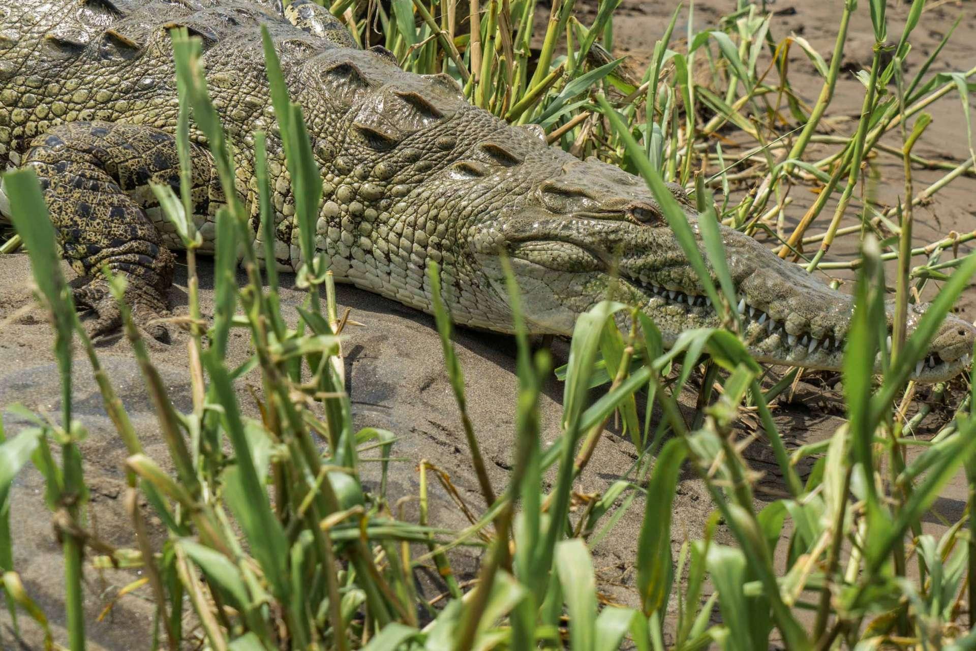 crocodile feeding rio tarcoles costa rica 4