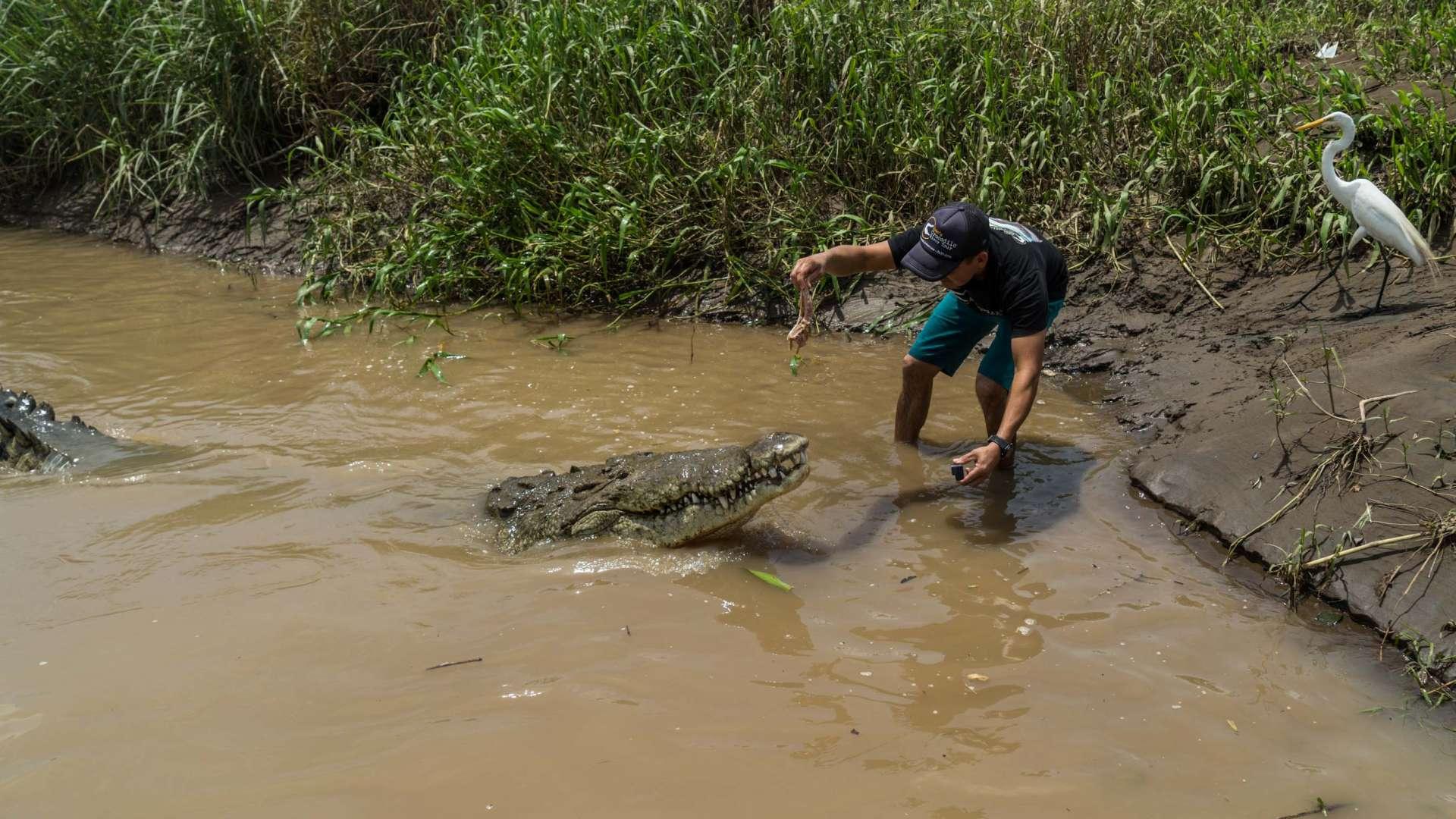 crocodile feeding rio tarcoles costa rica 2