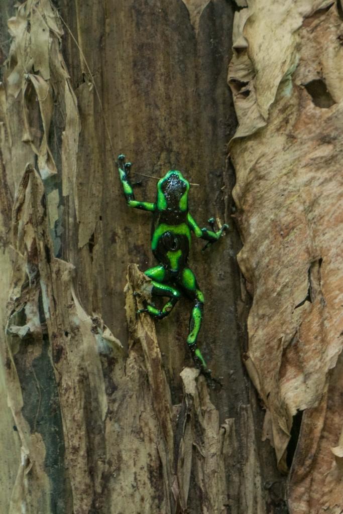 corcovado national park frog