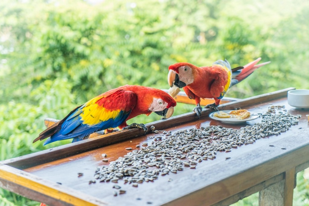 carate beach macaws