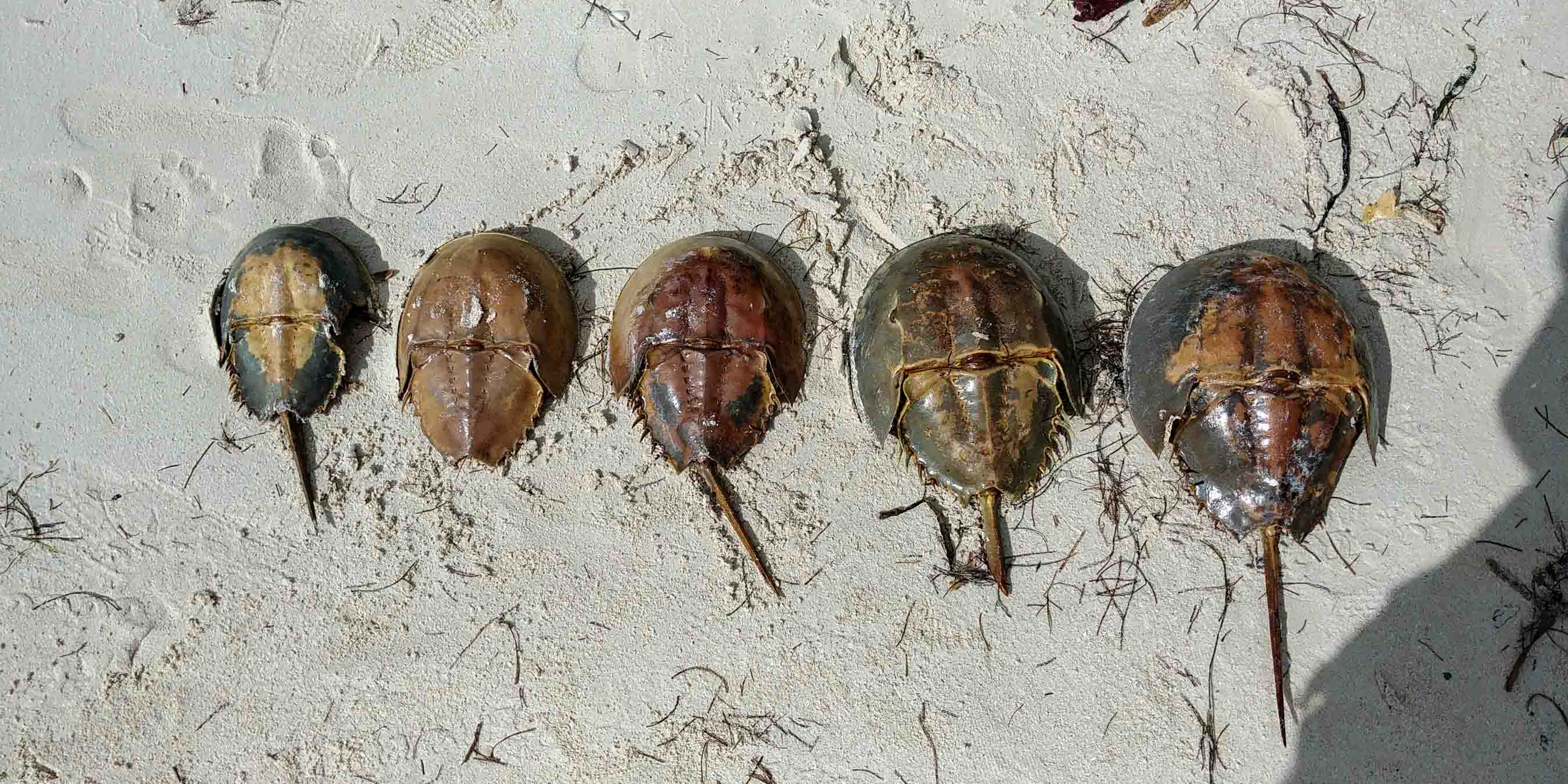 Isla Holbox Island Mexico Enrico Pescantini Pescart Travel Blog horseshoe crab 2