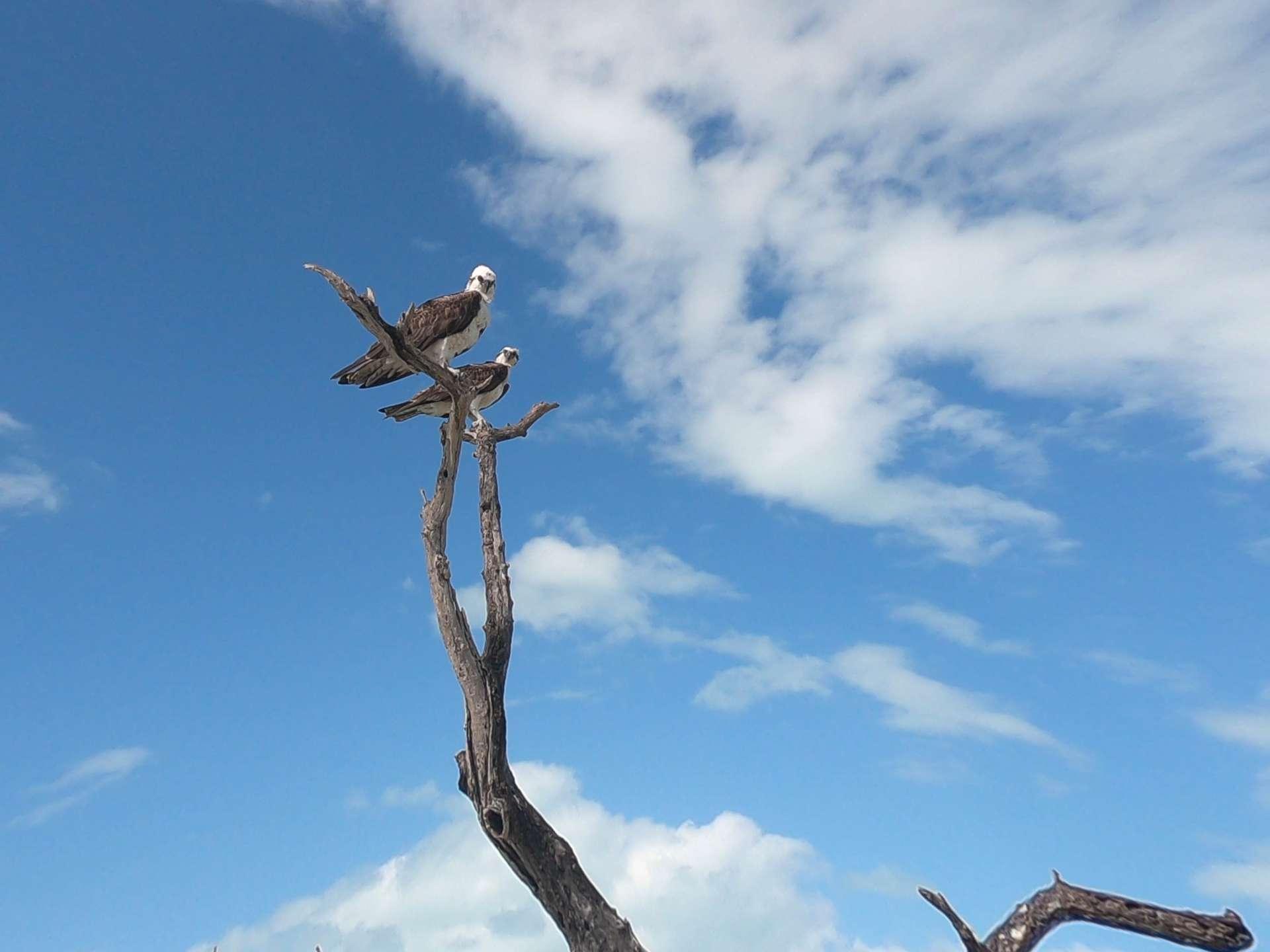 Isla Holbox Island Mexico Enrico Pescantini Pescart Travel Blog black-and-white hawk eagles