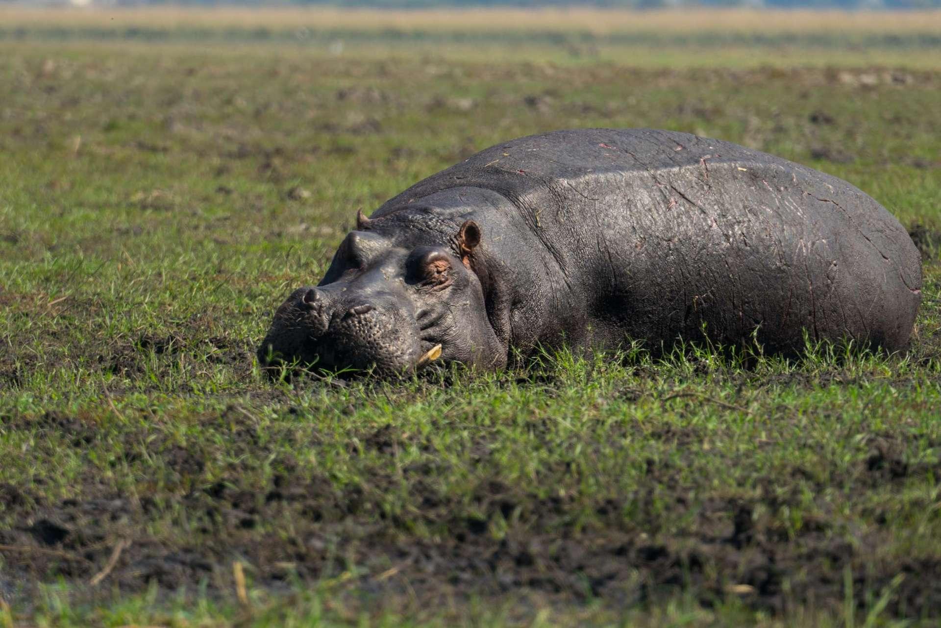 Victoria Falls Zimbawe Enrico Pescantini Chobe day trip hippo