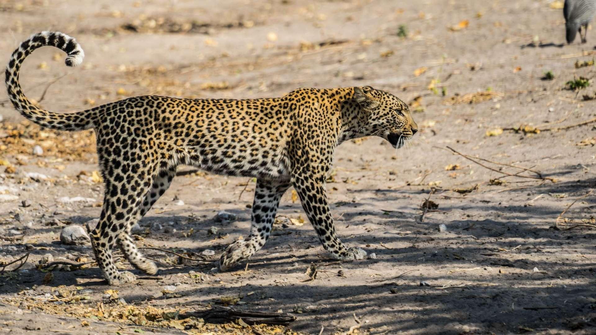 Victoria Falls Zimbawe Enrico Pescantini Chobe day trip leopard 2