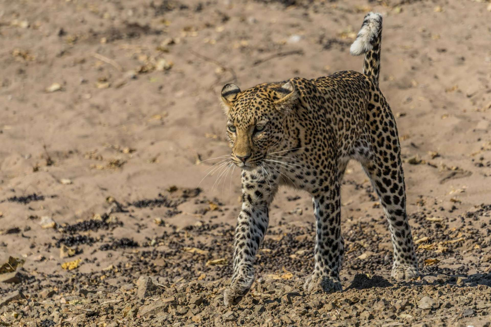 Victoria Falls Zimbawe Enrico Pescantini Chobe day trip leopard