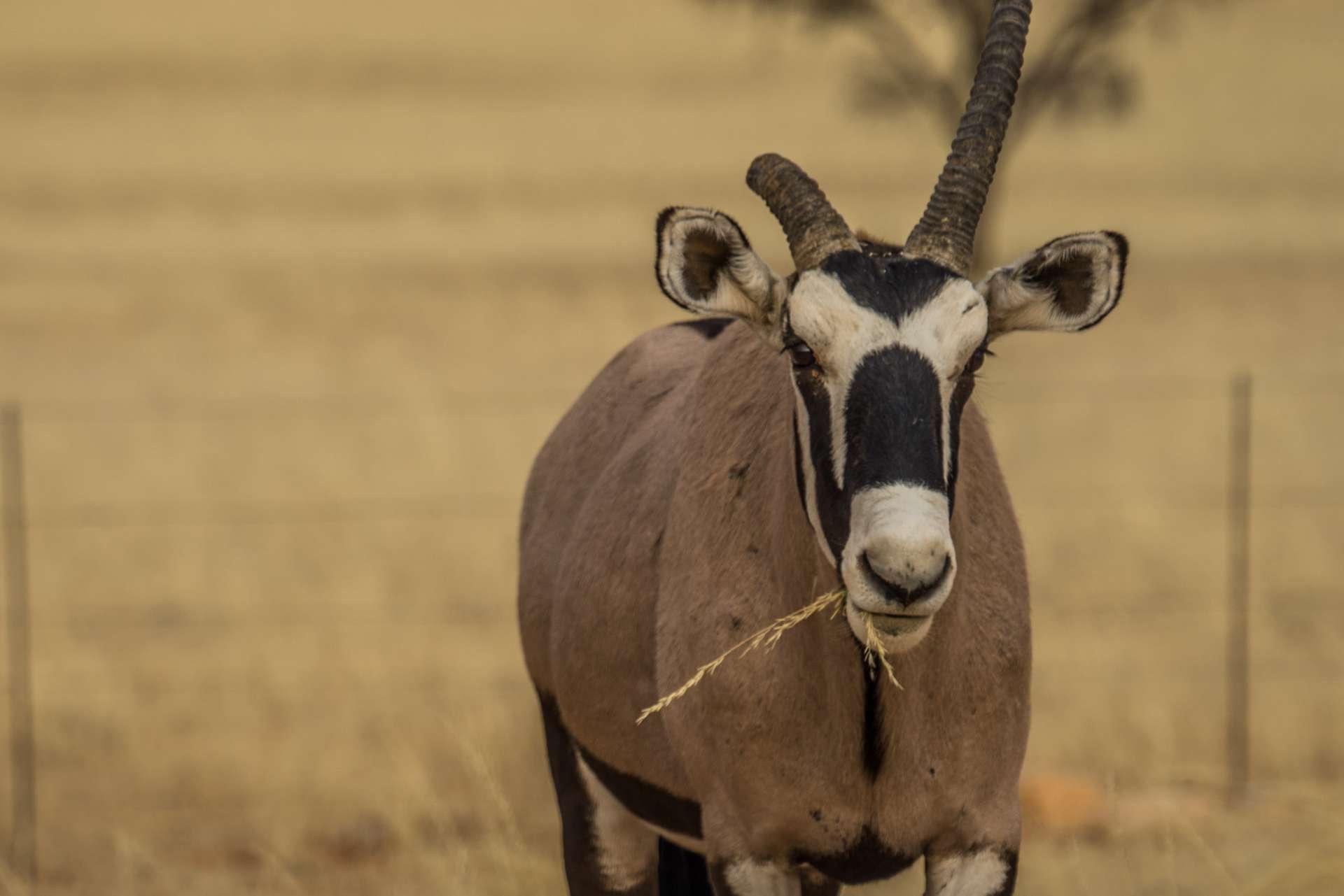 Namibia Enrico Pescantini Travel Photographer wildlife nature oryx