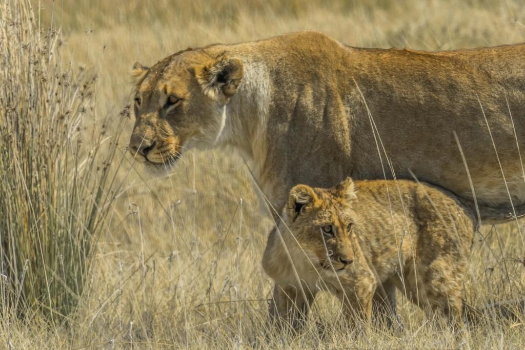 Namibia Enrico Pescantini Travel Photographer wildlife nature etosha lioness and cub