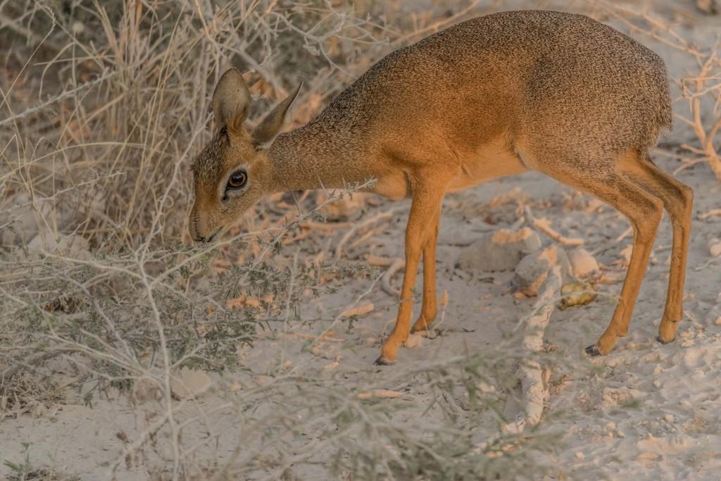 Namibia Enrico Pescantini Travel Photographer wildlife nature etosha dik dik