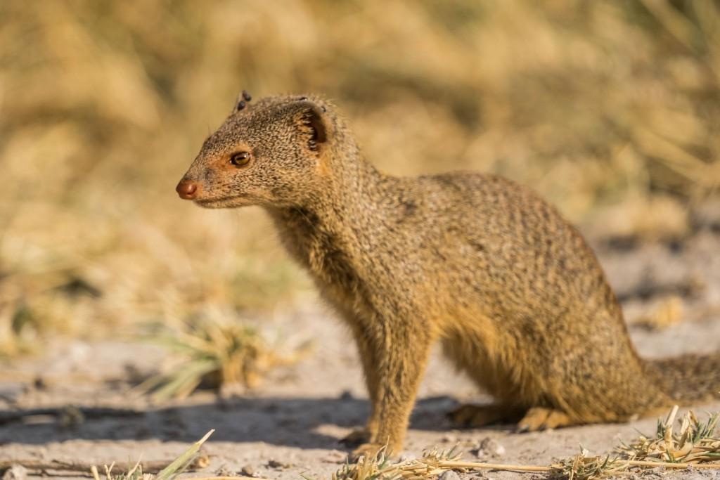 Namibia Enrico Pescantini Travel Photographer wildlife nature etosha mongoose