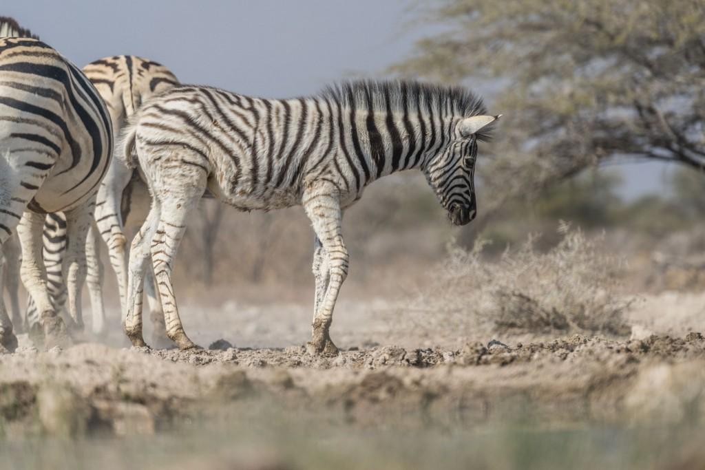 Namibia Enrico Pescantini Travel Photographer wildlife nature etosha cub zebra