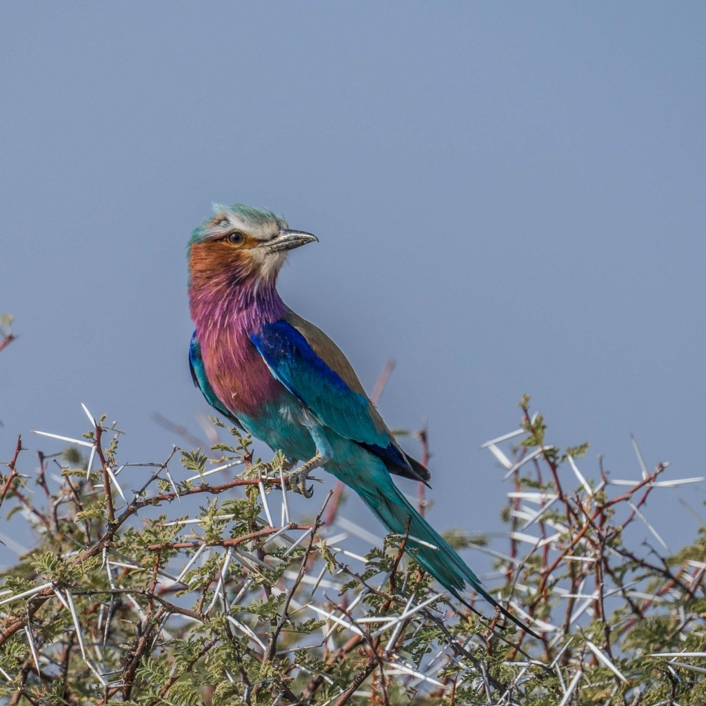 Namibia Enrico Pescantini Travel Photographer wildlife nature Lilac-breasted roller