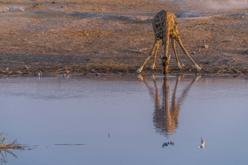 Namibia Enrico Pescantini Travel Photographer wildlife nature etosha young giraffe drinking
