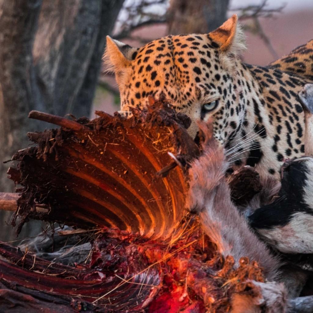 Namibia Enrico Pescantini Okonjima Nature Reserve africat foundation leopard dinner