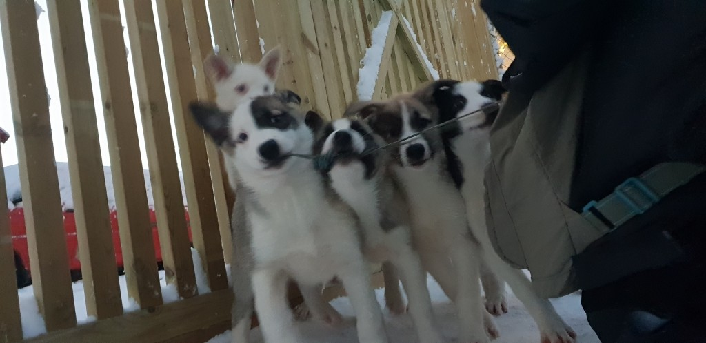 Tromso Dog Sledding hasselberg husky norway puppies