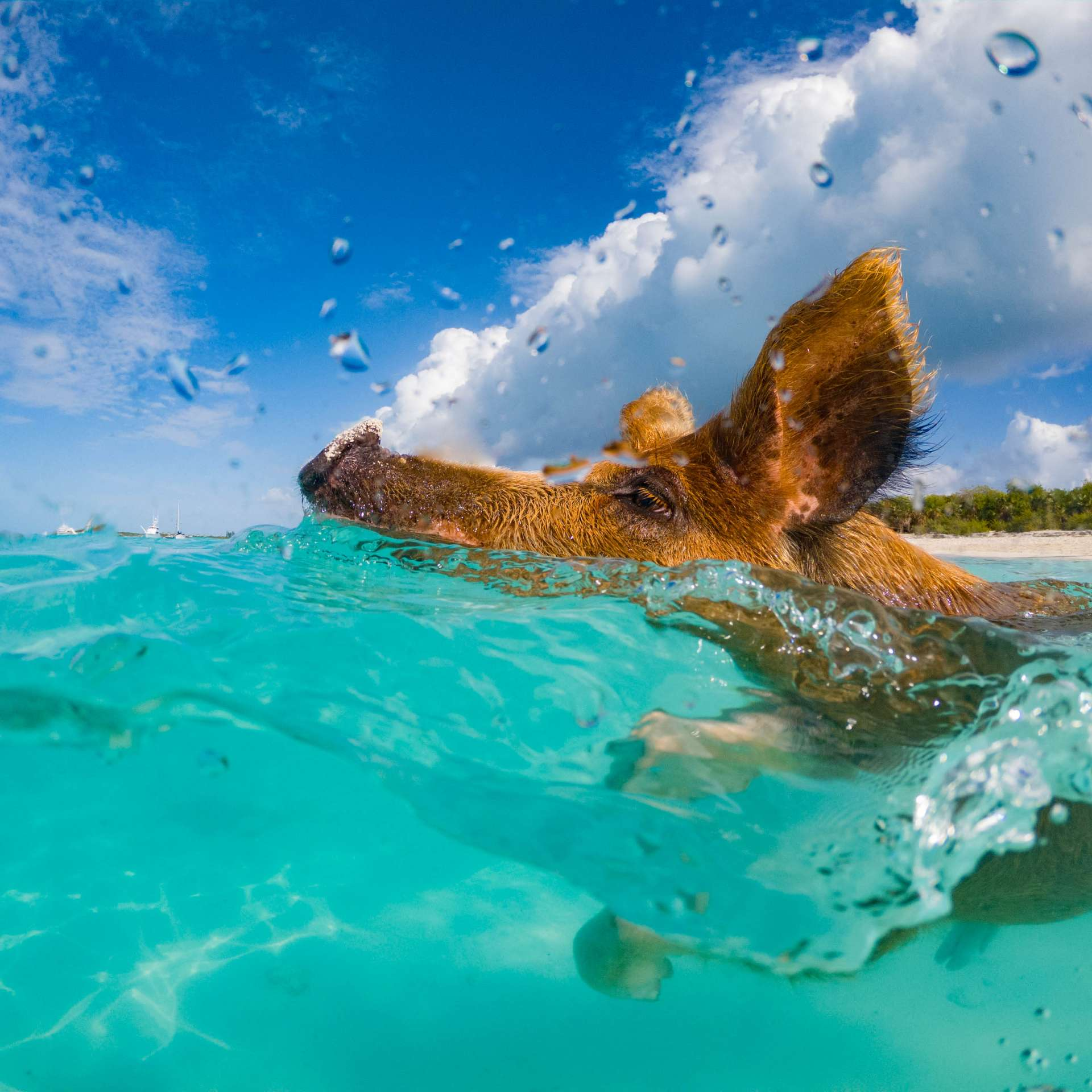 swimming with pigs beach exuma cays bahamas 2