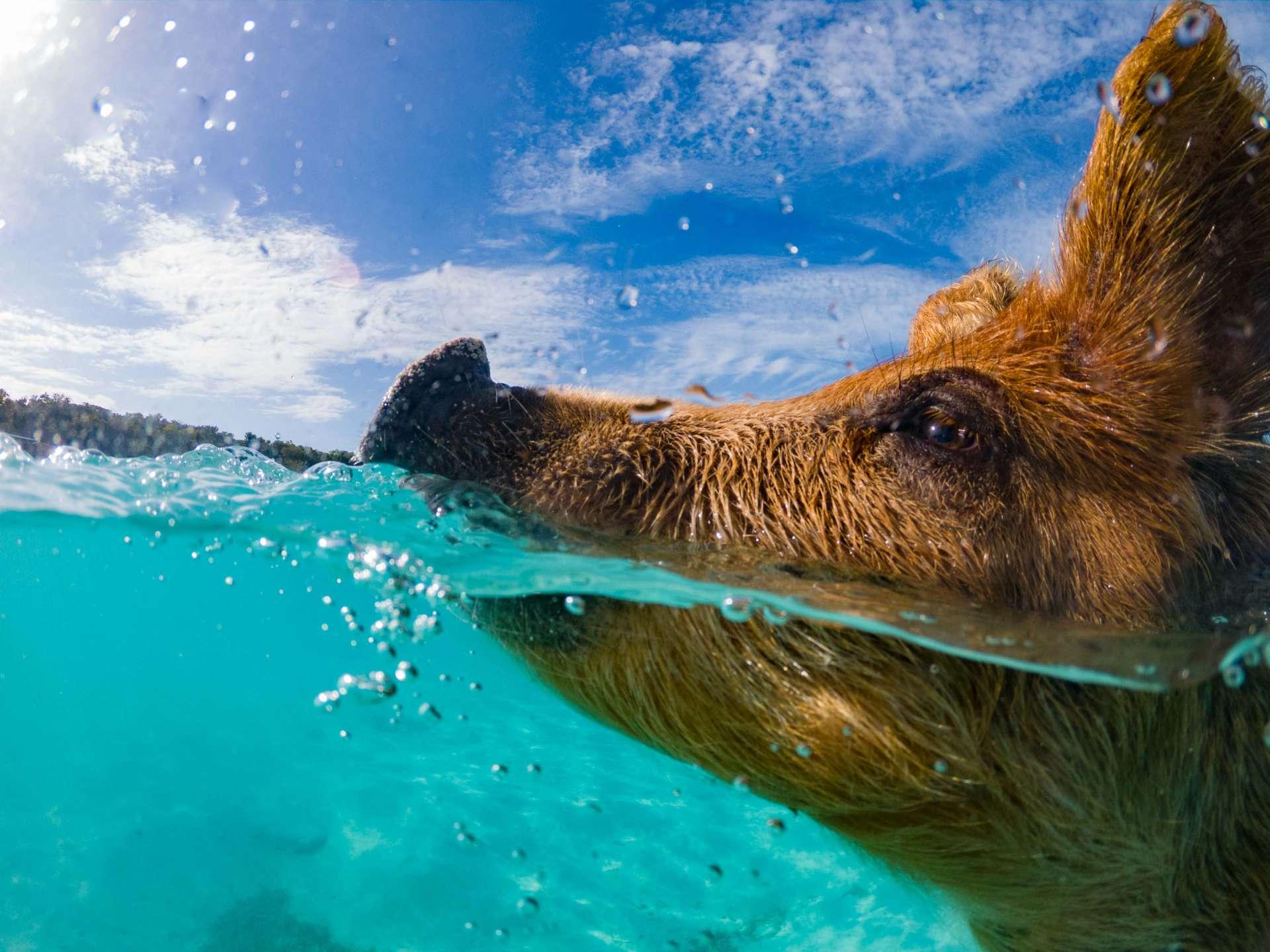 swimming with pigs beach exuma cays bahamas 3