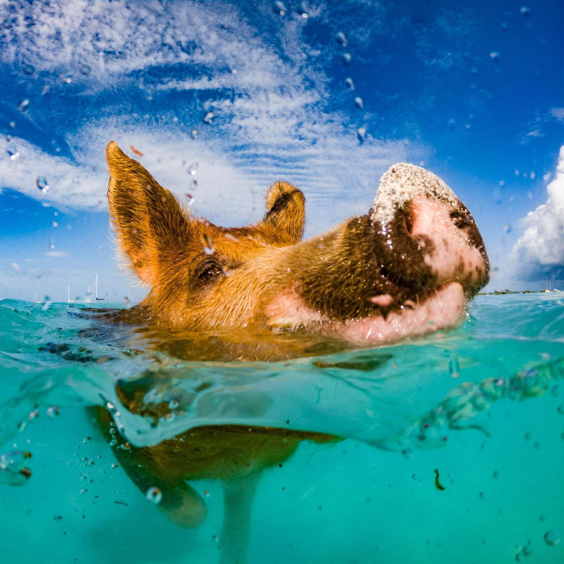 swimming with pigs beach exuma cays bahamas 5