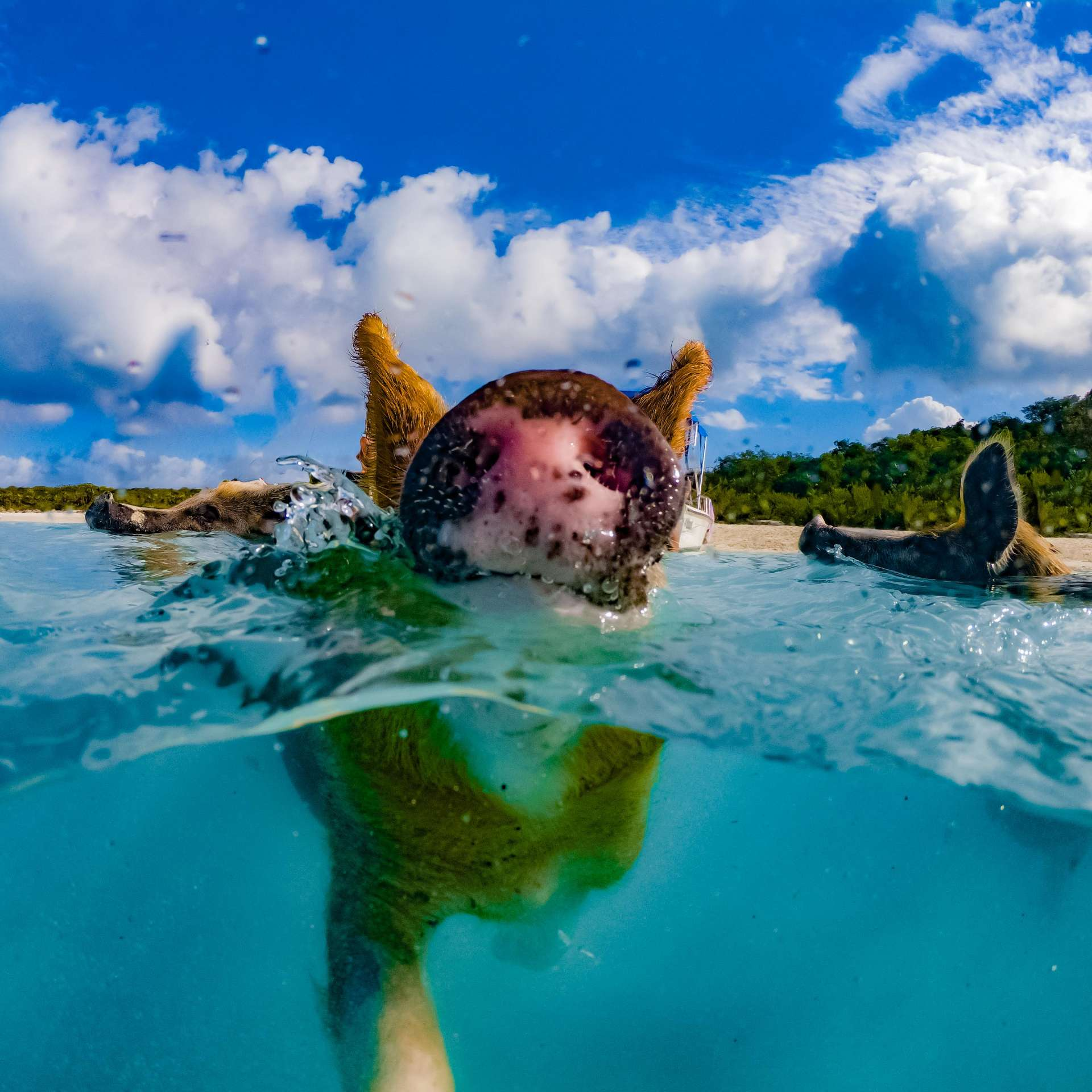 swimming with pigs beach exuma cays bahamas 6