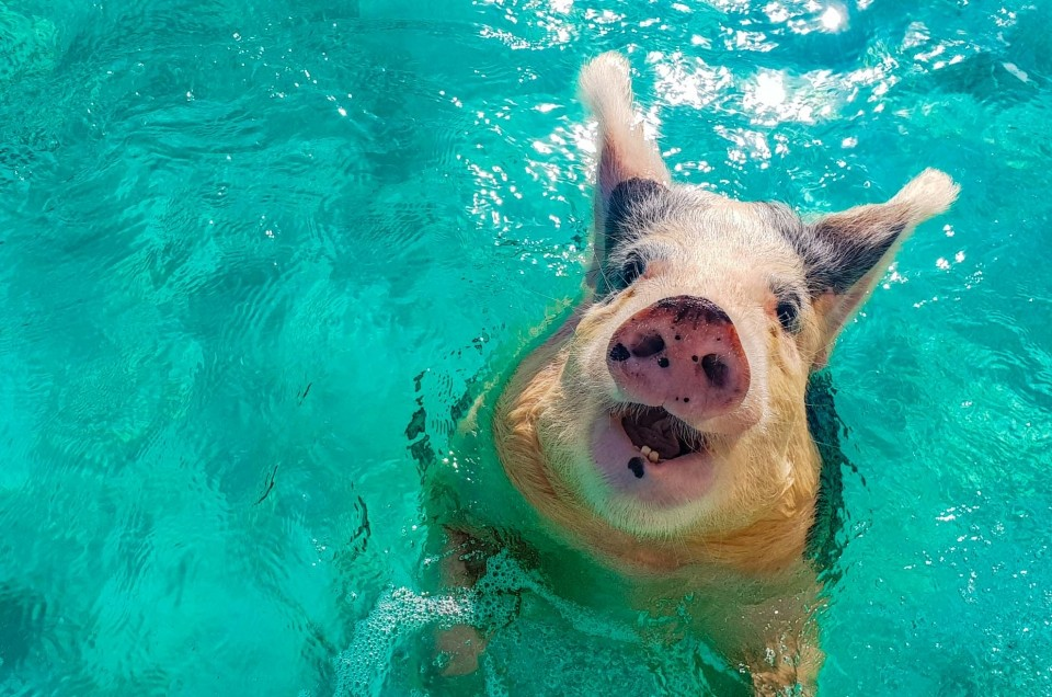 Exuma: swimming with pigs and sharks in the Bahamas!