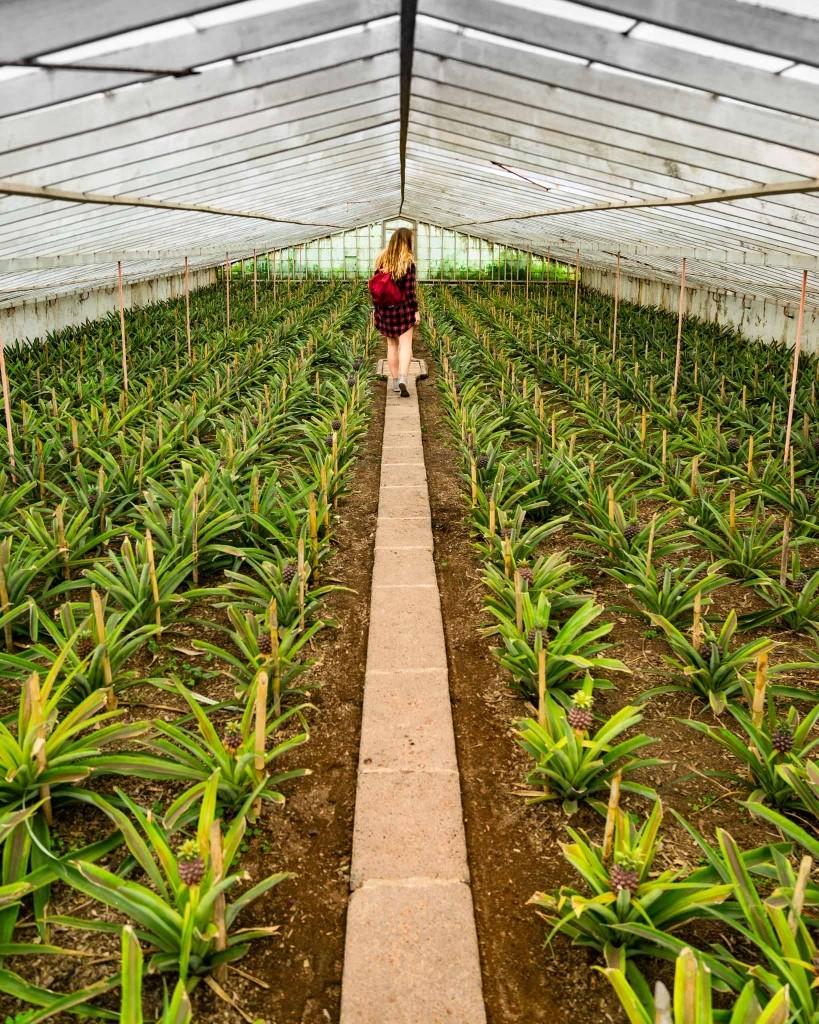 Azores Sao Miguel Pineapples Arruda
