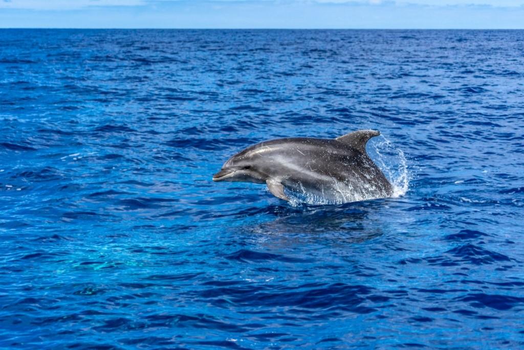 Azores Sao Miguel Ponta Dalgada Whale Watching Futurismo Dolphin Watching 2