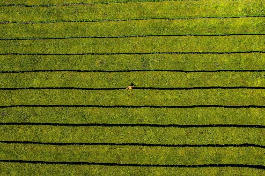 Azores Sao Miguel Tea Plantation Gorreana Tea Factory