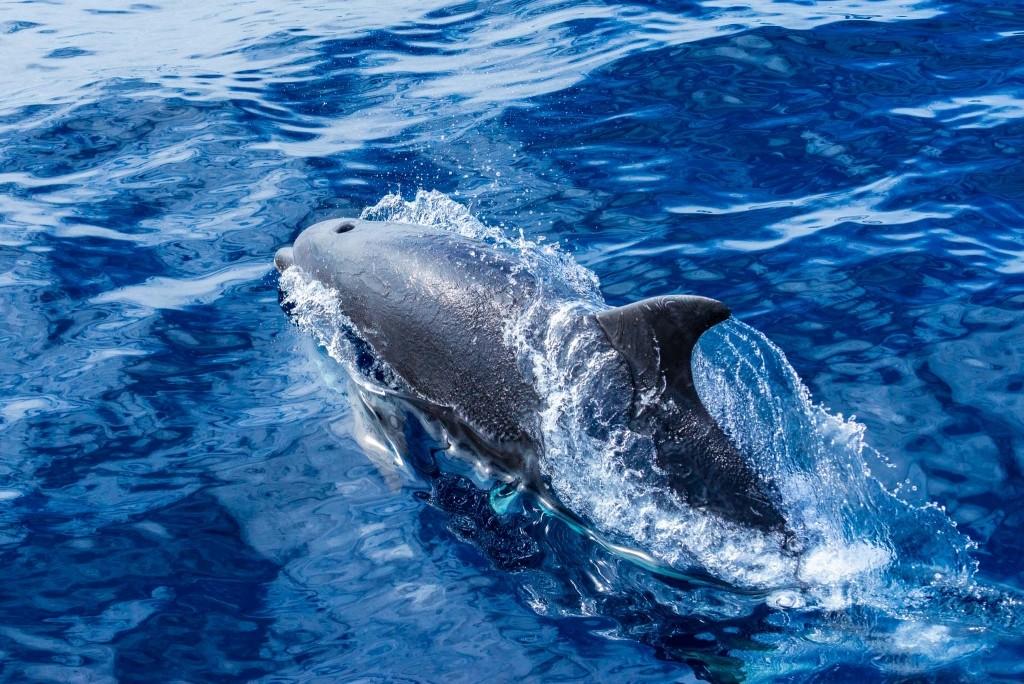 Azores Sao Miguel Ponta Dalgada Whale Watching Futurismo Dolphin Watching 5