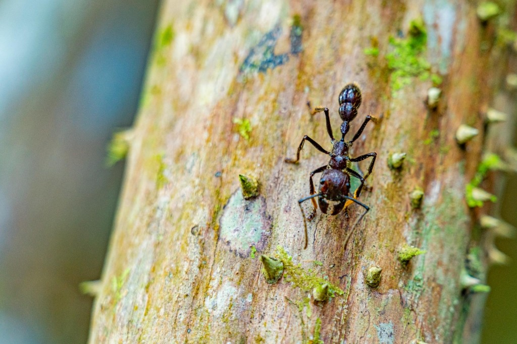 amazon forest iquitos peru bullet ant