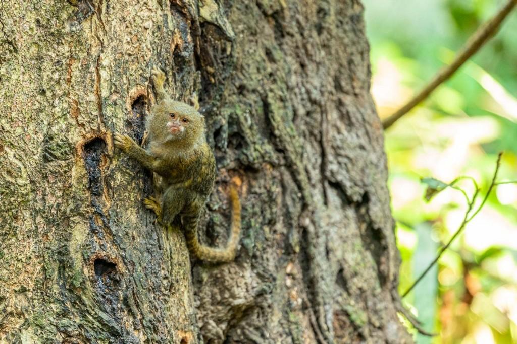 amazon forest iquitos peru Pygmy marmoset