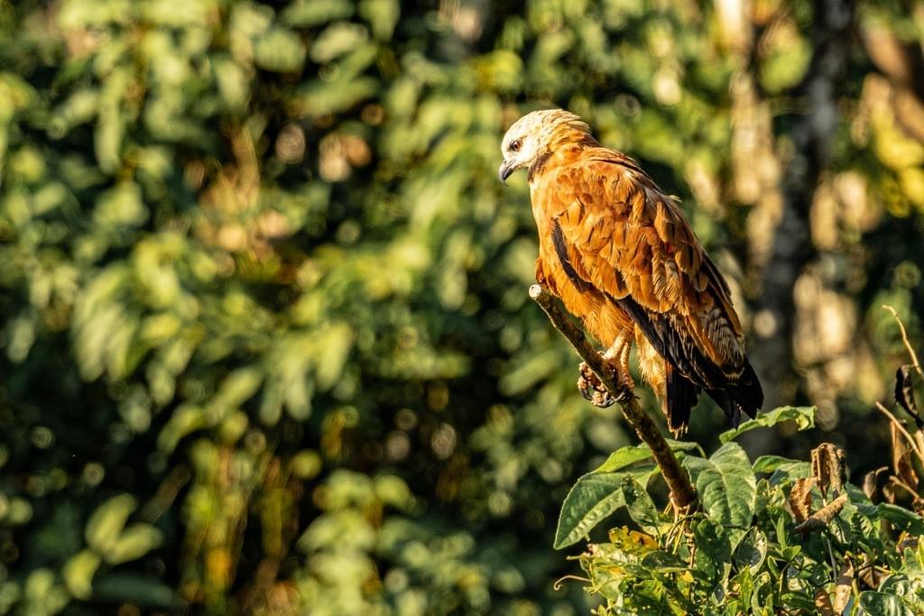 amazon forest iquitos peru hawk