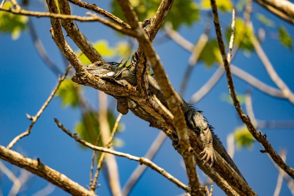 amazon forest iquitos peru iguana