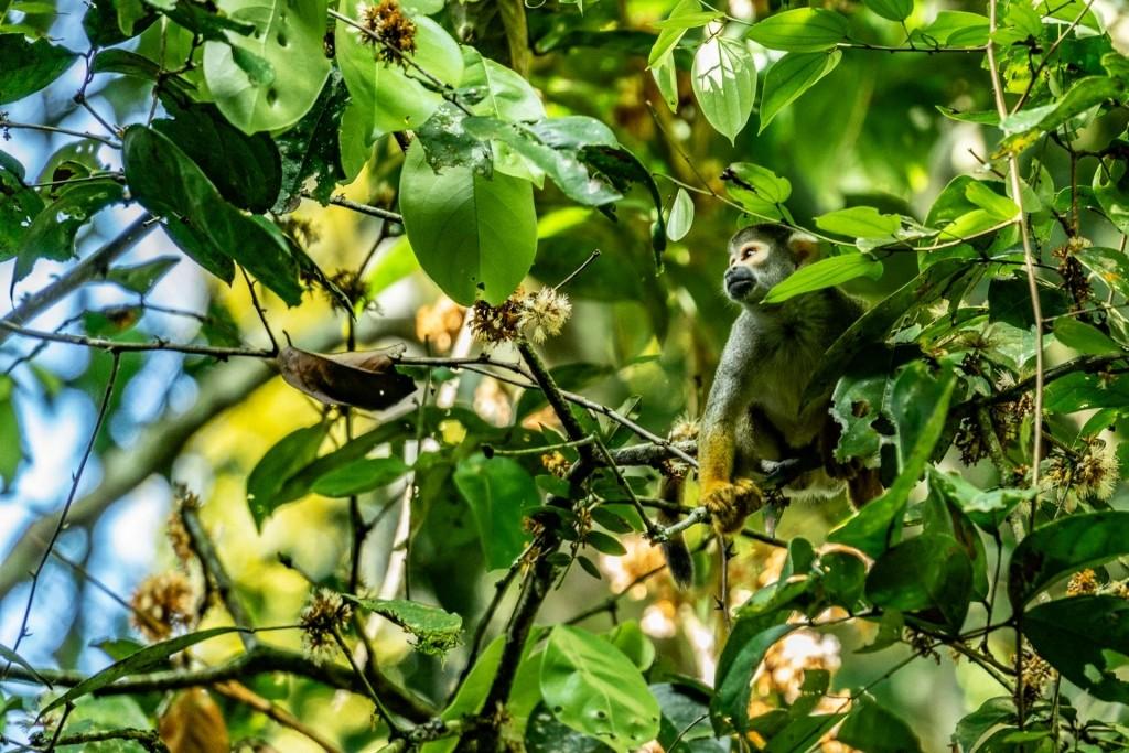 amazon forest iquitos peru squirrel monkey