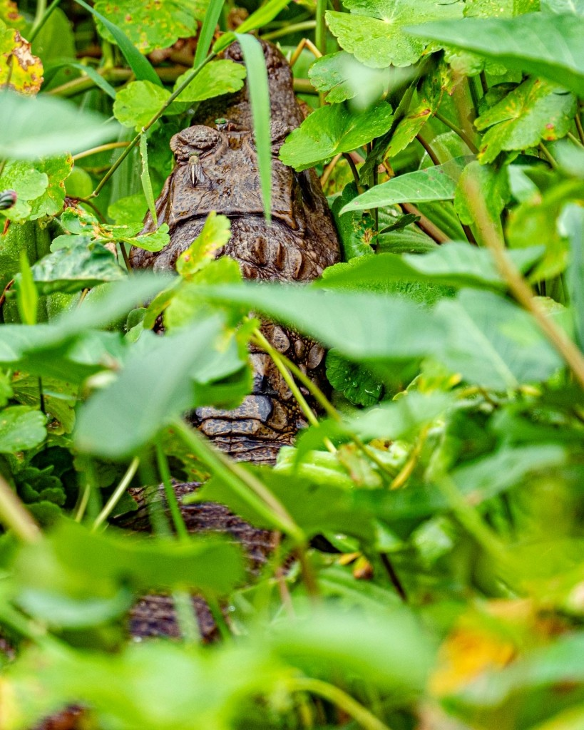 amazon forest iquitos peru cayman