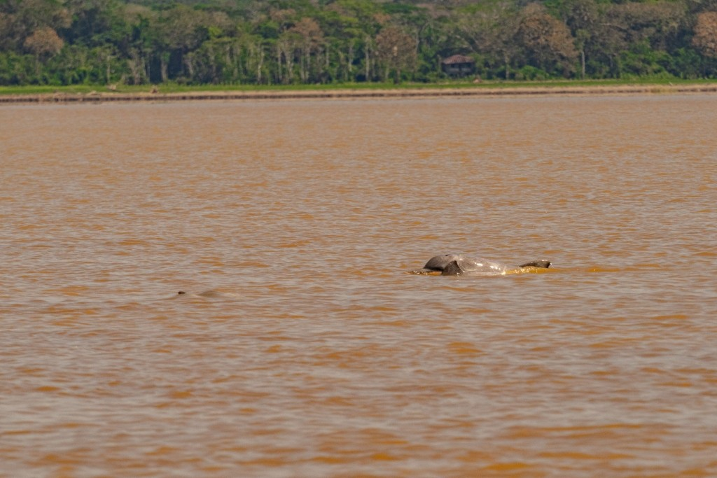 amazon forest river iquitos dolphin