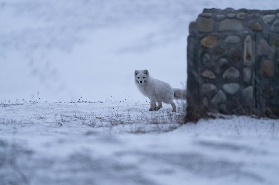 visit svalbard october arctic fox
