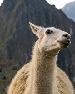 Machu Picchu Lama close up
