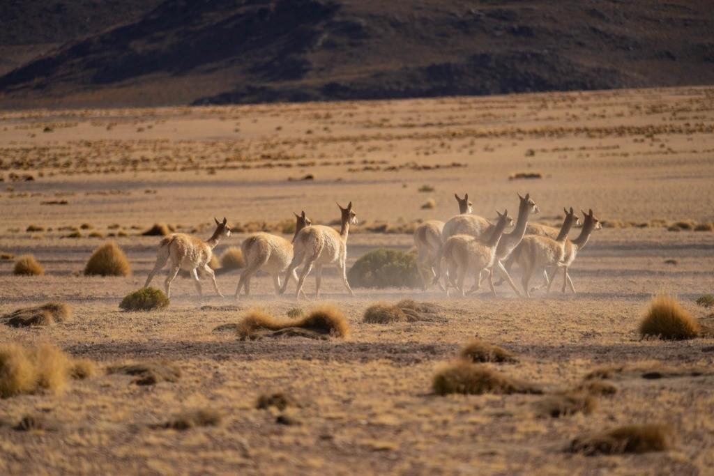 siloli desert vicuña bolivia