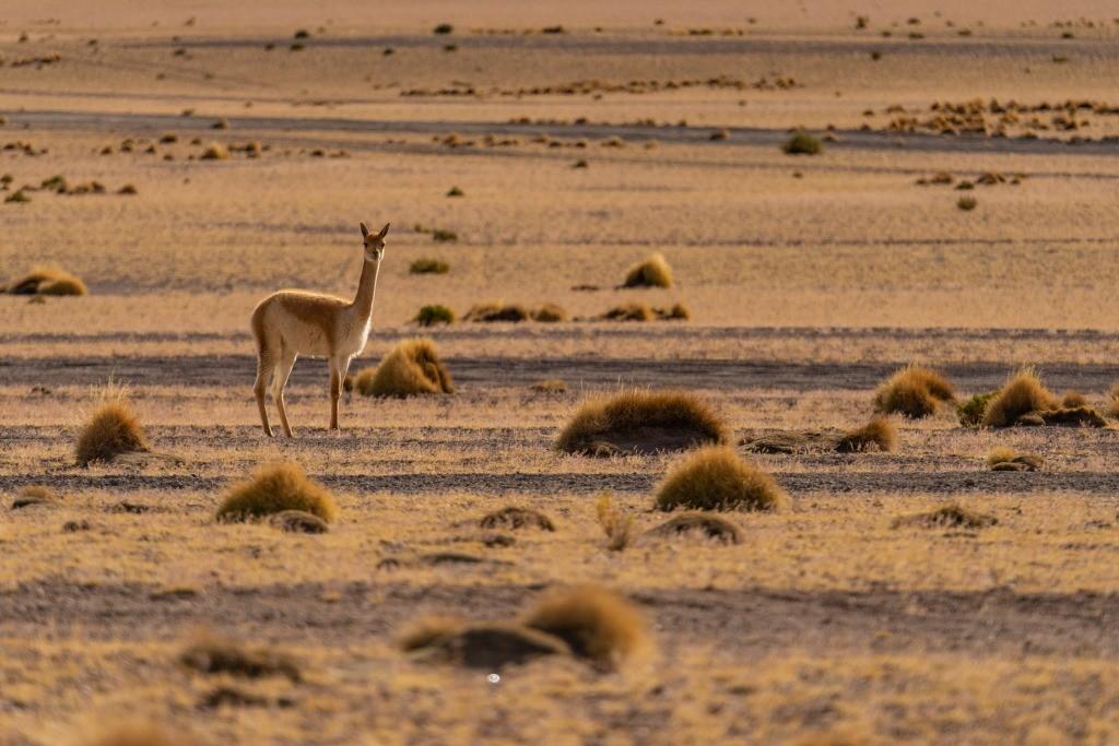 siloli desert vicuña male bolivia