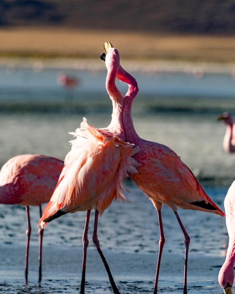 Laguna Colorada bolivia flamingo
