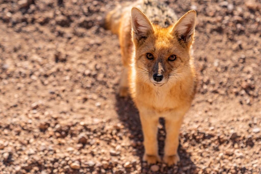siloli desert fox