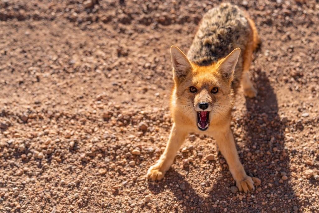 siloli desert fox 2