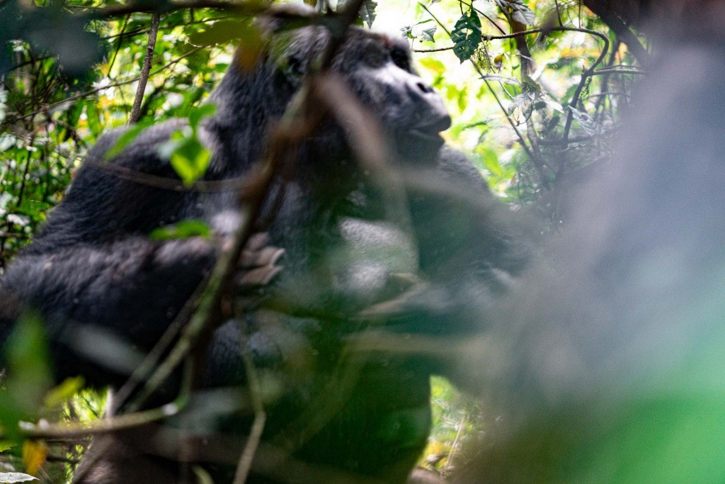 Gorilla Tracking Bwindi Impenetrable Forest Uganda