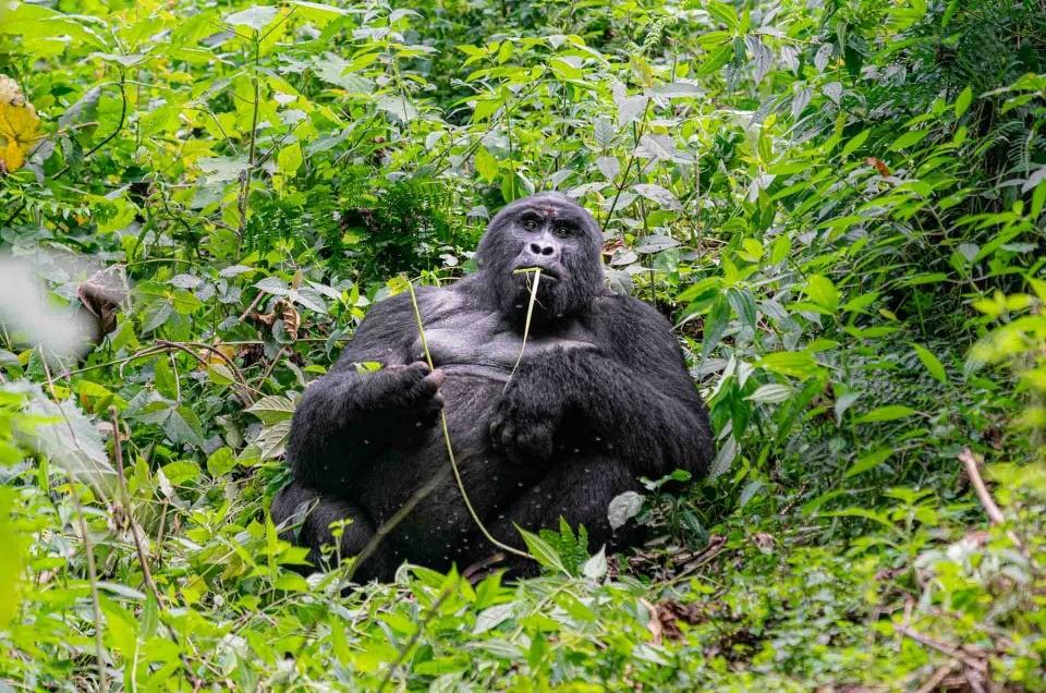 Gorilla Tracking in Uganda Bwindi Impenetrable Forest – Photo tips
