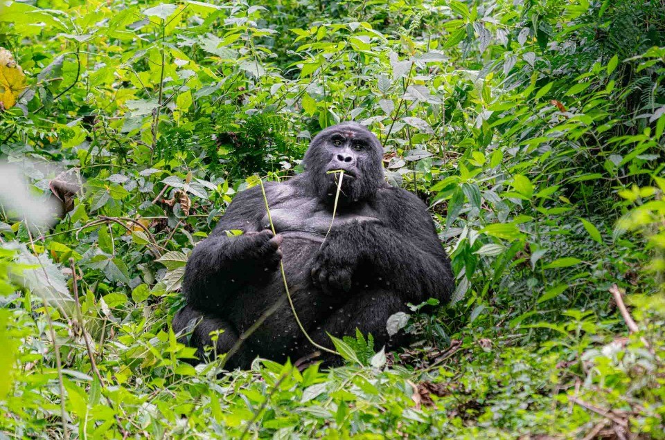 Gorilla Tracking in Uganda Bwindi Impenetrable Forest – Photo tips