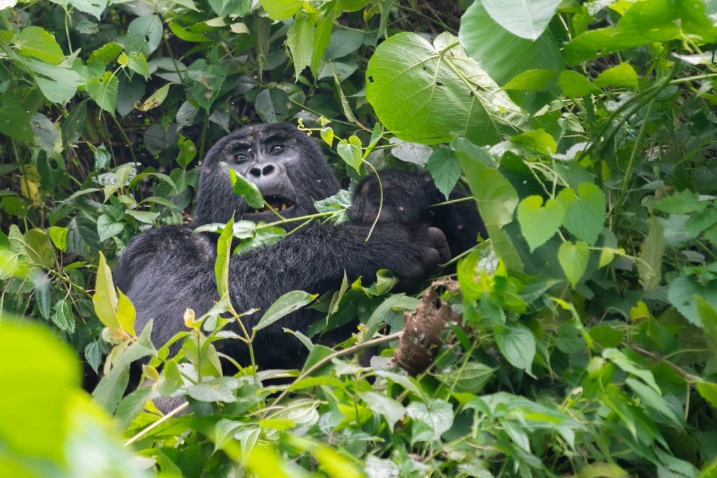 Gorilla Tracking Bwindi Impenetrable Forest Uganda