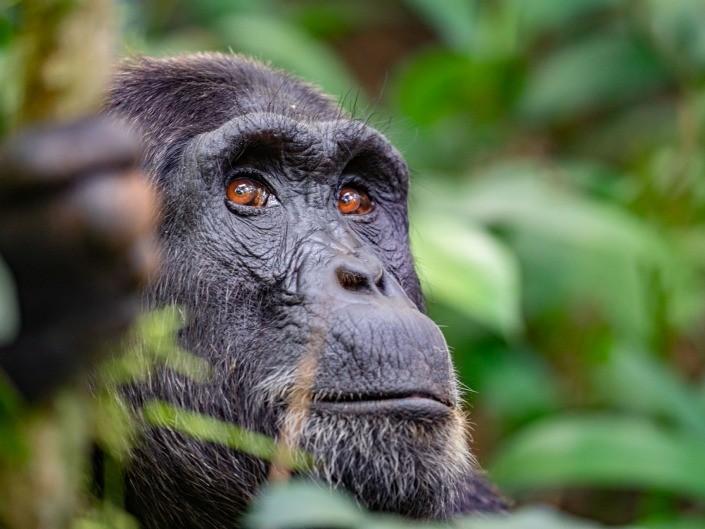 Uganda Kibale Forest Chimpanzee