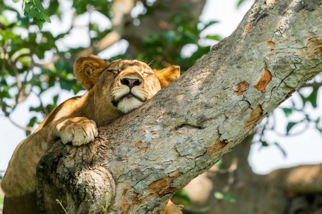 Uganda Queen Elizabeth Park Ishasha Tree Climbing Lion